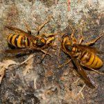 キイロスズメバチの画像