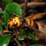 オオスズメバチの画像
