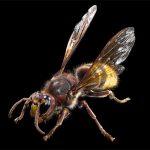 モンスズメバチの画像