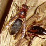 チャイロスズメバチの画像