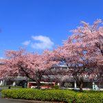 桜の開花時期もいろいろ(3月4日)の画像
